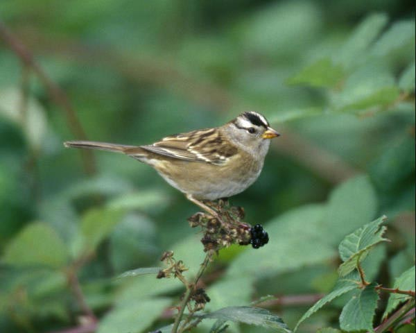 White-crowned Sparrow - Zonotrichia leucophrys - NatureWorks
