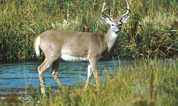the effects of overpopulation of white tailed White-tailed deer (odocoileus virginianus) are an important part of new york  state's  and have a tremendously detrimental impact upon both forest  biodiversity.