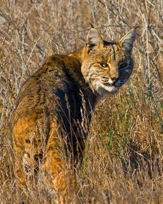 Bobcat Lynx Rufus Wildlife Journal Junior